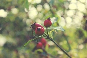 benefits of rosehip oil