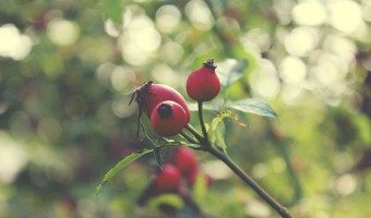 The Benefits of Rosehip Seed Oil
