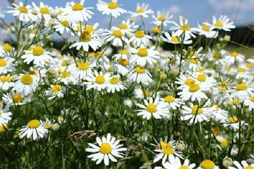 chamomile for dry skin