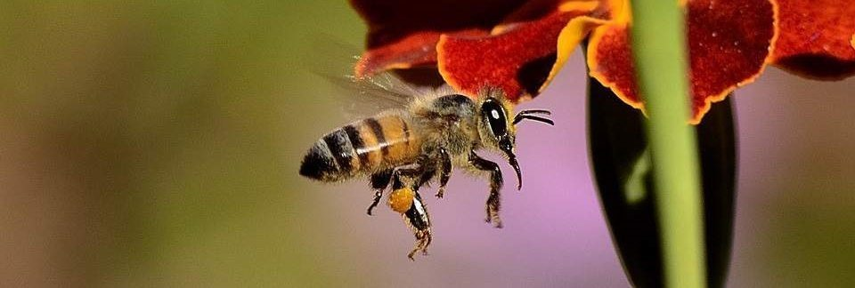 bee propolis skin benefits