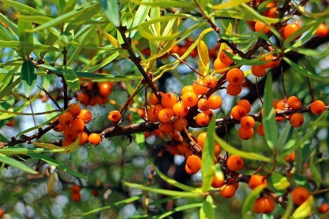 Sea buckthorn for the skin