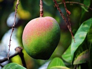 mango butter hair benefits - mango tree