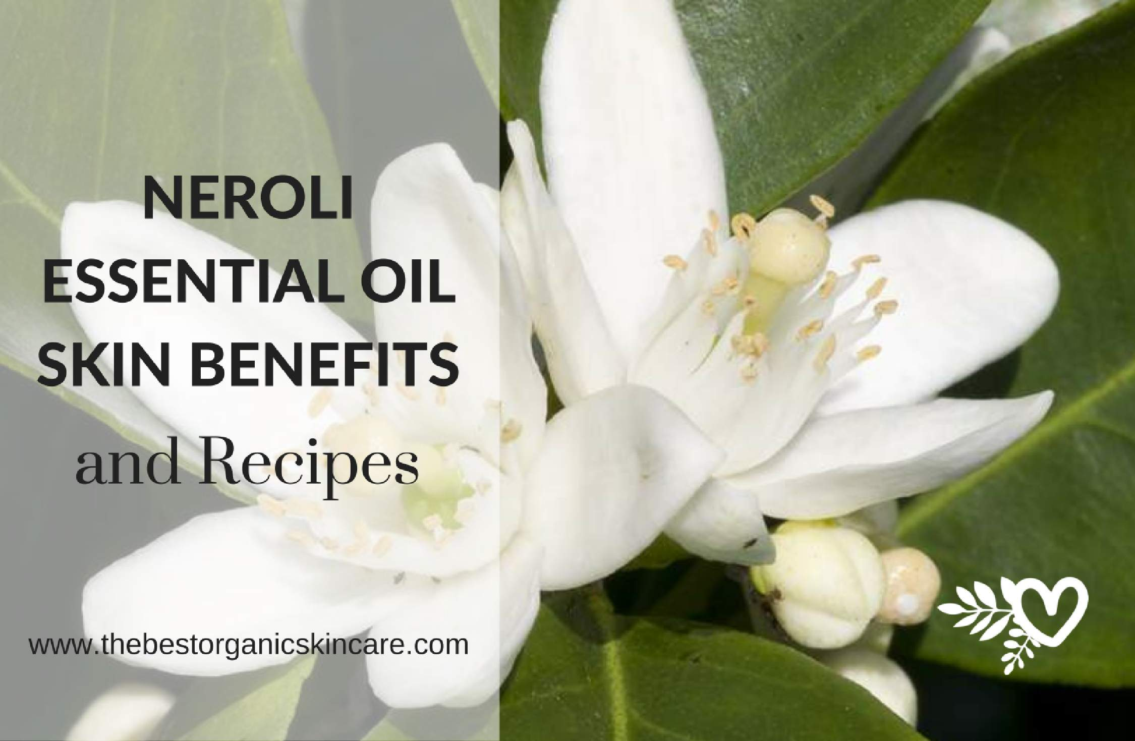 Neroli essential oil skin benefits recipes the best organic skin neroli essential oil skin benefits recipes the best organic skin care mightylinksfo Image collections