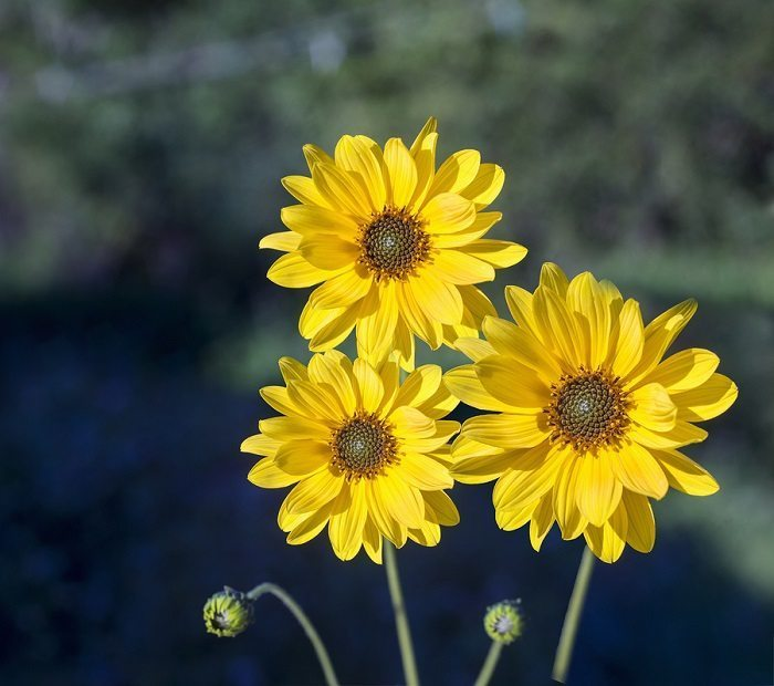 benefits of arnica for the skin