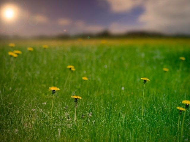 dandelion benefits for skin care