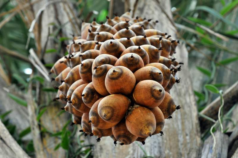 fruit of the babassu palm used to make babassu oil