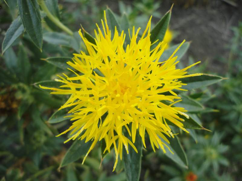 best face oils for acne - safflower