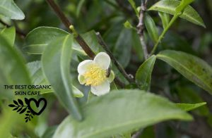 benefits of tea tree oil for the skin