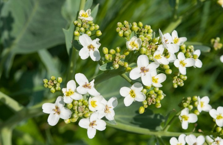 Crambe Abyssinica